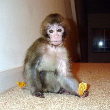 Как ухаживать за обезьяной в домашних условиях видео - Pizza e Birra