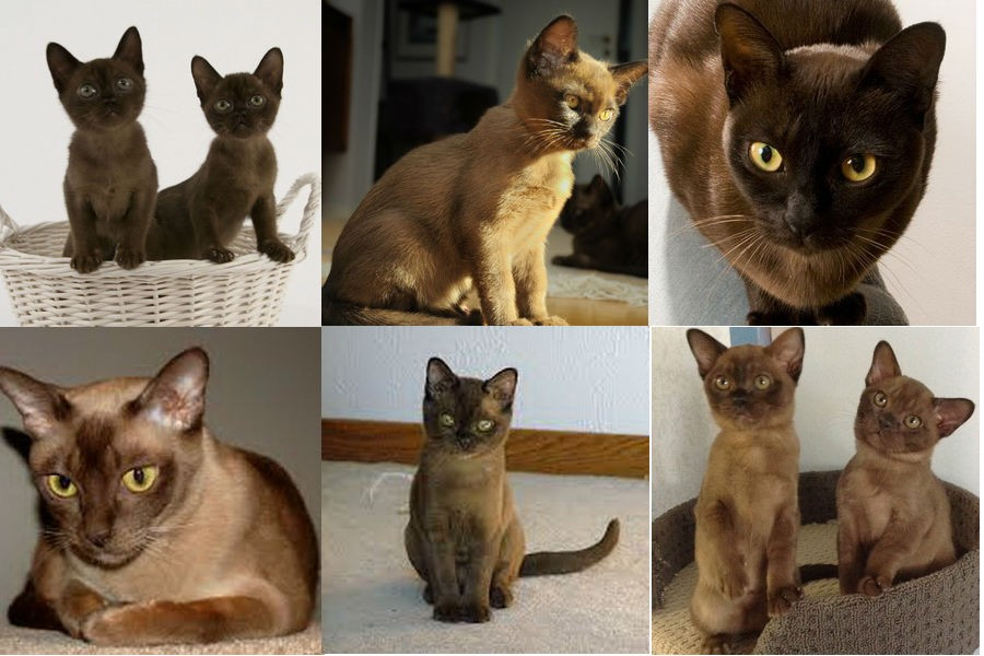 Бирмская кошка