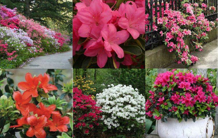 Азалия японская садовая - выращивание