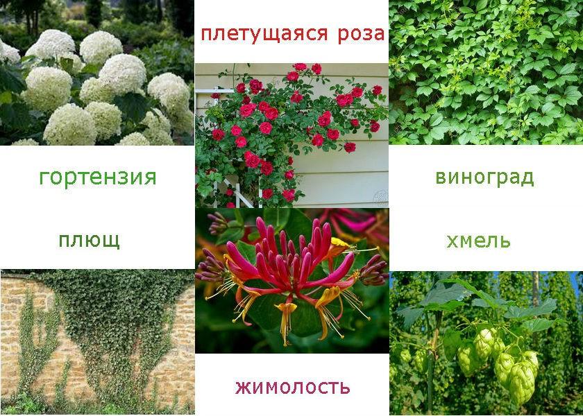 Садовые вьющиеся растения