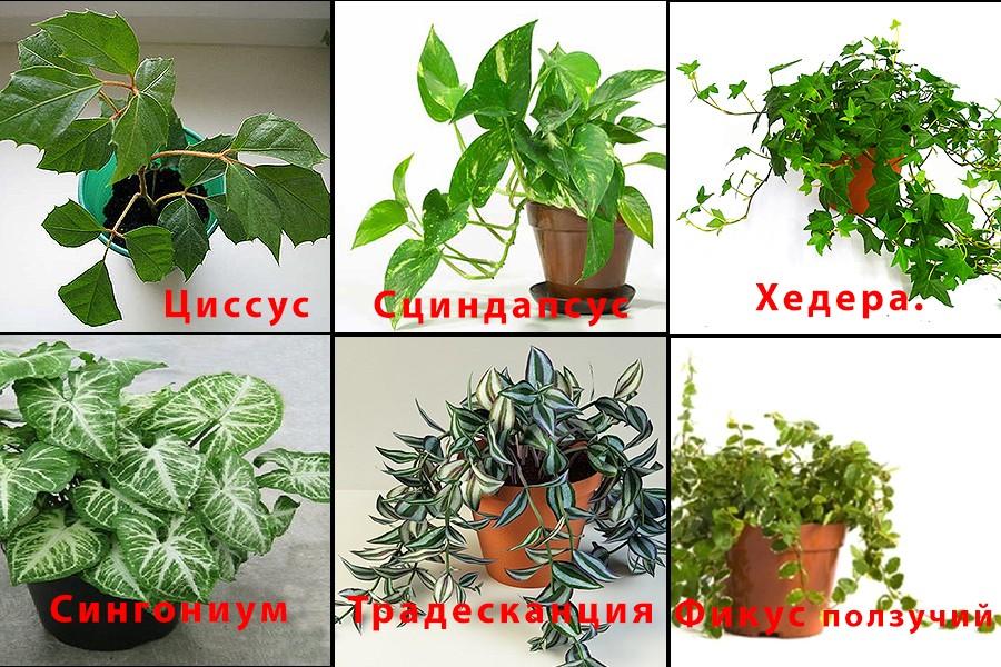 ампельные растения фото и названия