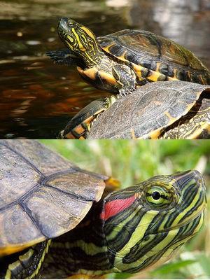 черепахи 2