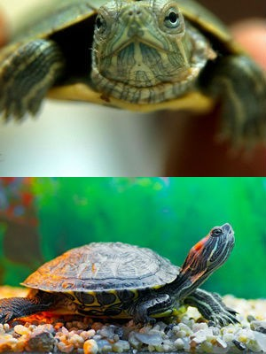 черепахи 3