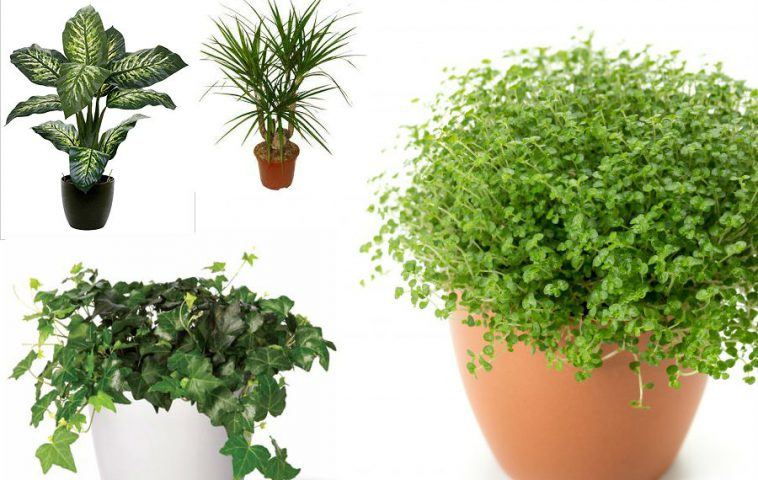 лиственные комнатные растения