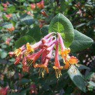 жимолость садовая посадка и уход
