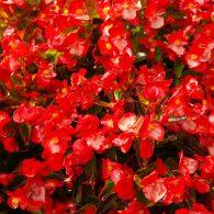 бегония садовая - выращивание в открытом грунте