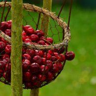 вишня не плодоносит - что делать