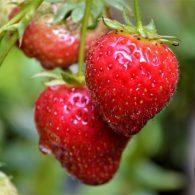 устранение проблем при выращивании клубники