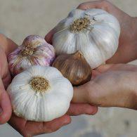 выращивание чеснока в открытом грунте