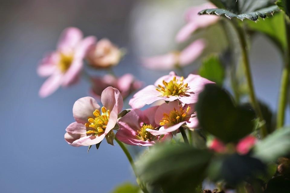 клубника цветет, но не формирует завязей