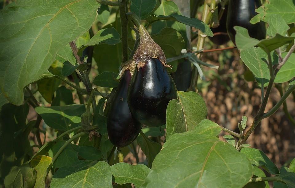 баклажаны - посадка и уход в открытом грунте
