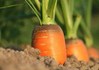 выращивание моркови в открытом грунте