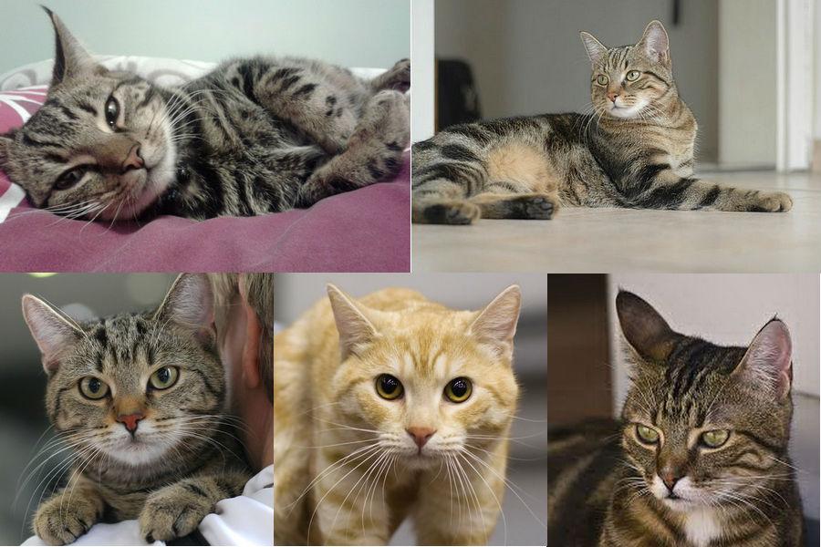 Европейская коротокошерстная (кельтская) кошка