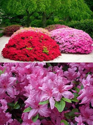 Азалия японская садовая