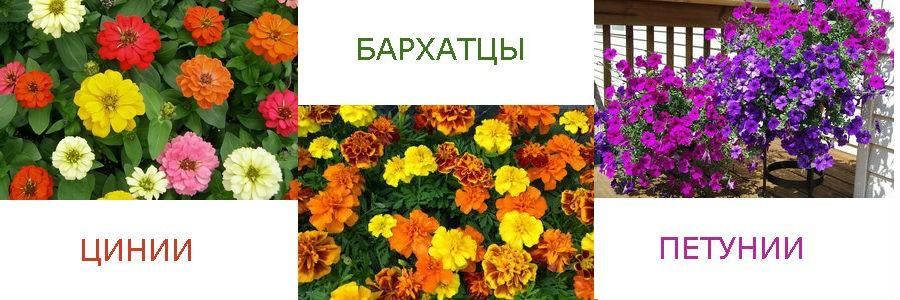 Однолетние растения, которые цветут все лето
