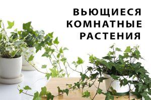 Read more about the article Вьющиеся комнатные растения: фото и названия