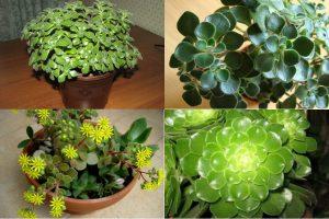 Read more about the article Домашняя экзотика – аихризон: выращивание и уход