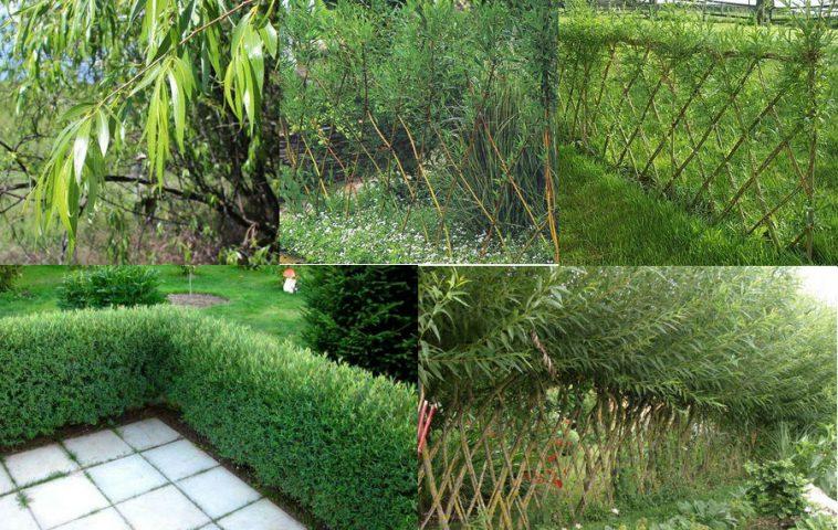 живая изгородь из ивы