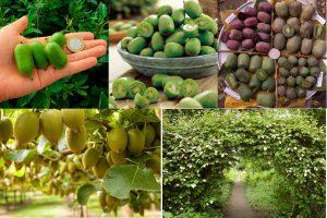 Дальневосточный деликатес в своем саду: выращивание актинидии
