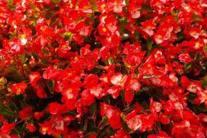 Садовая красавица бегония: выращивание в открытом грунте