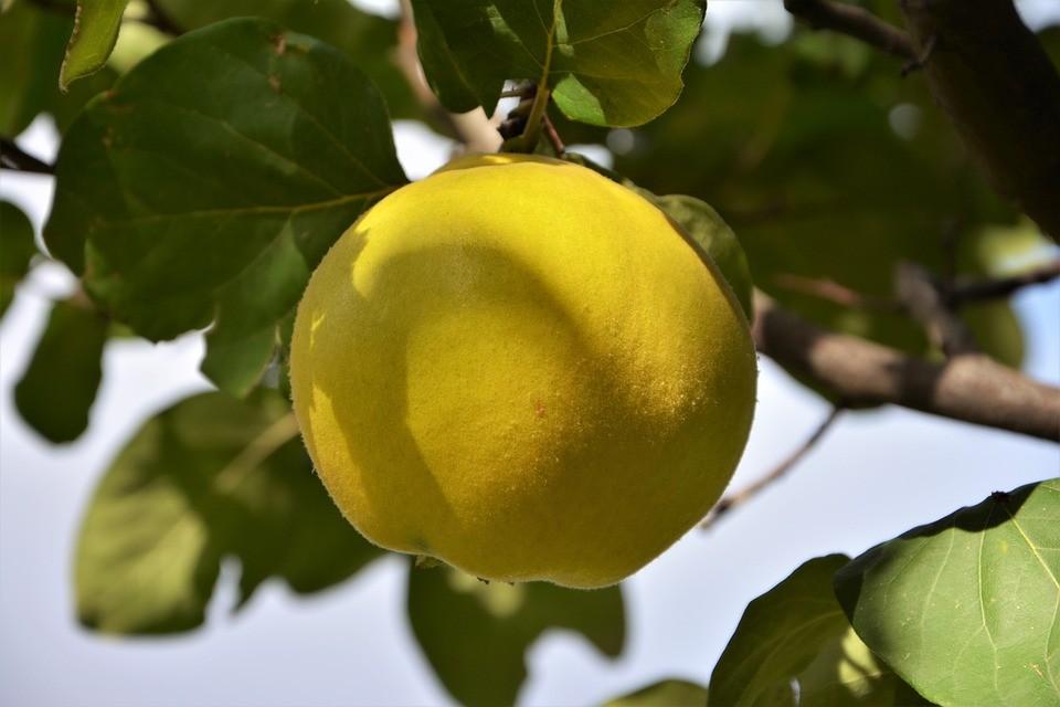 Золотое яблоко Кавказа – Айва: посадка и уход в открытом грунте