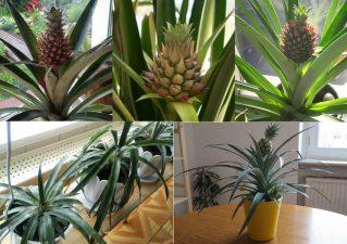 как вырастить ананас в квартире на подоконнике
