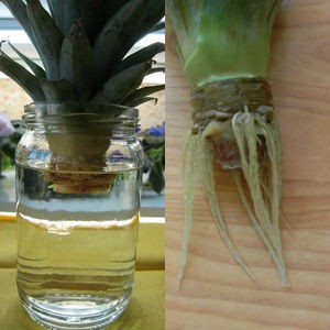 Тропики на подоконнике: выращивание ананаса в квартире