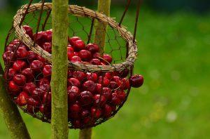 Почему вишня не плодоносит, и что советуют делать опытные садоводы