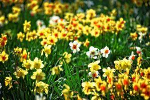 Нарциссы: выращивание и уход в саду, в том числе после цветения