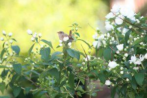 Красавица из Поднебесной – Дейция: посадка и уход в открытом грунте