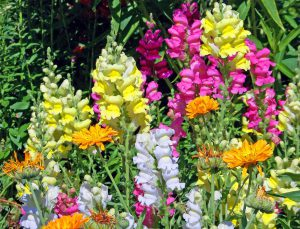 Львиный зев: выращивание антирринума из семян, посадка и уход
