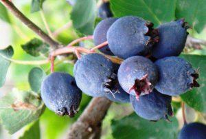 Read more about the article Июньская чудо-ягода ирга: особенности выращивания, посадка и уход
