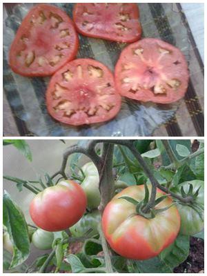 белые прожилки и неравномерное созревание томатов