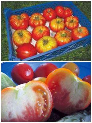 можно ли есть недозревшие помидоры