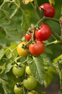 недозревшие помидоры - кандидаты на дозаривание