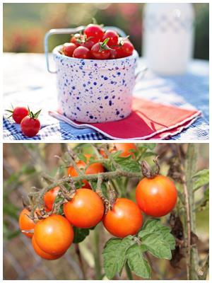 особенности выращивания помидоров черри