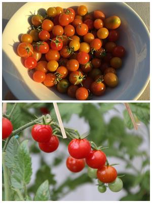выращивание томатов черри дома