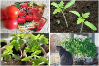 Рассада помидоров в домашних условиях: сроки и правила выращивания