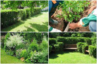 Реанимация живой изгороди с оголившимися местами: нестандартные решения
