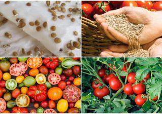 подготовка семян помидоров к посадке