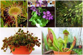 Комнатные растения-хищники: фото и названия, как ухаживать