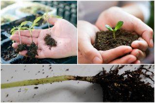 Черная ножка у рассады овощей и цветов: как бороться с болезнью