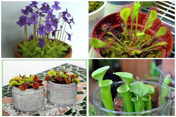 как ухаживать за плотоядными растениями в домашних условиях