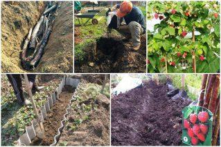 Учимся сажать малину в траншею: советы опытных садоводов