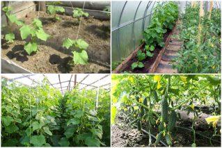 Как выращивать огурцы в теплице: все, что действительно нужно знать