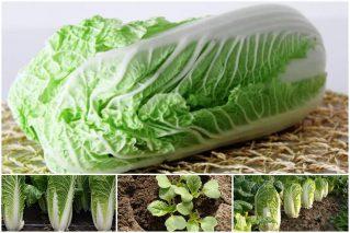 Практические аспекты выращивания пекинской капусты