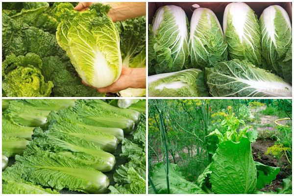 сбор и хранение урожая пекинской капусты