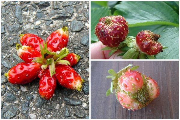 ягоды клубники, пораженные клопом