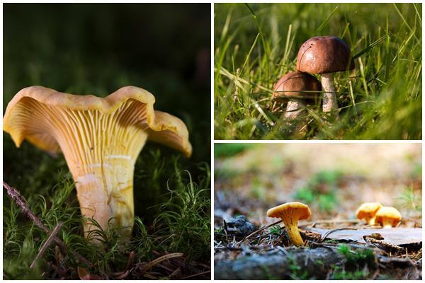 благородные грибы