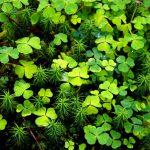 Кислица в народной медицине: выращивание и применение